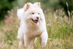 A White Samoyed Puppy running majestically through long grass and wildflowers. Cute white fluffy dog with long fur in the park, countryside, meadow or field stock photography