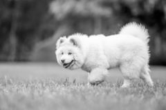 A White Samoyed Puppy walking across a field with mouth open and tongue out. Cute white fluffy dog with long fur in the park, countryside, meadow or field stock photography