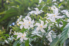 White Sampaguita Jasmine or Arabian Jasmine Stock Photography