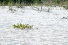 White Sand Beach Pensacola Florida with natural beach plants. Green plants and twigs on white sand beach in Pensacola, Florida 2018. Beach on Gulf of Mexico in Royalty Free Stock Image