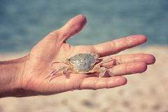White sand crab in the human hand Stock Photo