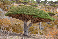 Dragon trees, Socotra Island, Yemen. Dragon tree - Dracaena cinnabari - Dragon's blood - endemic tree from Soqotra, Yemen Royalty Free Stock Photos