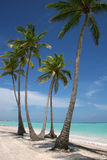 White Sand Paradise Beach. A Beautiful View Of Tall Palm Trees In Capcana Beach, Dominican Republic royalty free stock photography