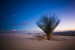 White Sands Cactus at Sunset Royalty Free Stock Photography
