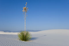 White Sands - Lonely Yucca Stock Photography