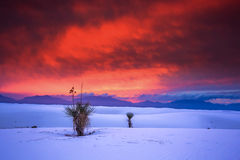 White Sands. Lonely yucca trees in White Sands National Monument, New Mexico, USA. Picture was taken at sunset with colorful sky Stock Photo