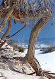 White Sands National Monument. Exposed roots in White Sands National Monument Stock Photos