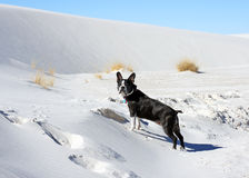 White Sands National Monument. Boston Terrier stands on the sand dunes against a blue sky in the White Sands National Monument Royalty Free Stock Photo
