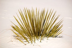 White Sands New Mexico. Plant Stock Photography