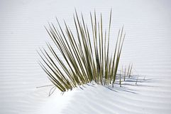 White Sands Plant Stock Photo
