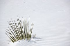 White Sands Plant Royalty Free Stock Image