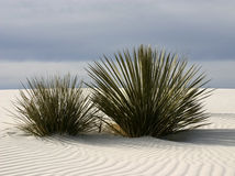 White Sands Yucca. Soaptree yucca plants grow through the surface of gypsum dunes at White Sands National Monument in New Mexico Stock Photo