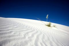 White Sands Yucca. A yucca plant blooms at White Sands National Monument, New Mexico Royalty Free Stock Photos