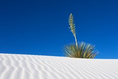 White Sands Yucca. A Yucca against a blue sky in the White Sands National Monument, New Mexico, USA Royalty Free Stock Images