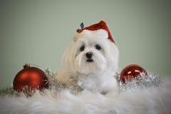 White Santa Dog Royalty Free Stock Image