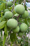 White Sapote Fruit. A species of persimmon, also known as cochitzapotl Stock Photography