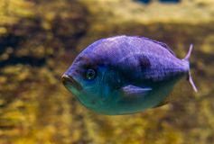 White sargo sea bream in closeup, vivid purple color effect on the scales, tropical fish from the atlantic and Indian ocean royalty free stock images