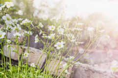 White Saxifraga arendsii frlowers in rock garden Royalty Free Stock Image