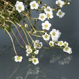 White mossy saxifrage - saxifraga bryoides - reflecting on glass Royalty Free Stock Images