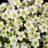 White Saxifrage Flowers Stock Photos