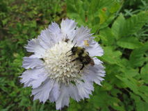 White Scabiosa with wild bee. A white Scabiosa flower with wild honey-bee Stock Photo