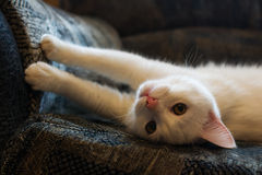 White cat sharpens claws on the sofa Stock Image