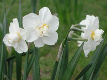 White flower of Narcissus plants. White scented blossom of Narcissus stock photo