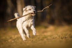 White schnauzer dog Royalty Free Stock Photo