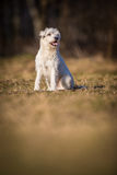 White schnauzer dog Stock Photography