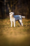 White schnauzer dog Stock Photos