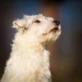 White schnauzer dog Royalty Free Stock Photography