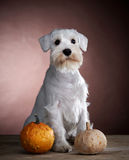 White schnauzer and pumkin Stock Photography