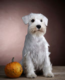 White schnauzer and pumkin Royalty Free Stock Image