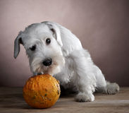 White schnauzer and pumpkin Stock Images