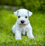 White schnauzer puppy. In a green grass Royalty Free Stock Photography