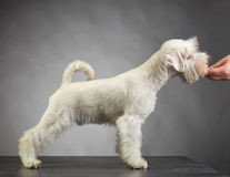 White schnauzer puppy royalty free stock images
