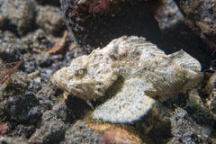 White scorpion fish Royalty Free Stock Photo