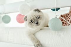 White Scottish fold domestic cat playing in bed with colorfull lights balloons. Beautiful white kitten. Portrait of Scottish