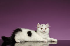 White Scottish straight Kitten Lies on Purple Stock Photo