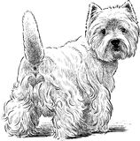 White Scottish Terrier. Vector drawing of a funny lap dog royalty free illustration