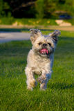 White scruffy dog running. And playing in the grass Stock Image