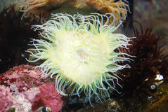 White Sea Anemone. Attached to a  rock under water Stock Photos