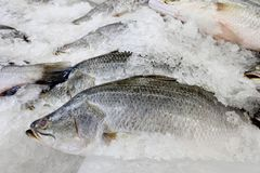 White sea bass on the ice. Royalty Free Stock Photos