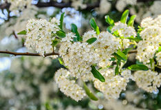 White Sea Buckthorn berry flowers, shrub with branches and green Stock Image