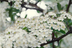 White Sea Buckthorn berry flowers, shrub with branches and green Royalty Free Stock Images