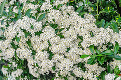 White Sea Buckthorn berry flowers, shrub with branches and green Stock Photos