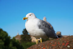 white sea gull on a background of blue sky and architecture of rome Royalty Free Stock Image