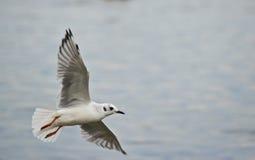 White sea gull flying over ocean Stock Photos