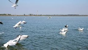 White sea gulls fly over the sea surface stock footage