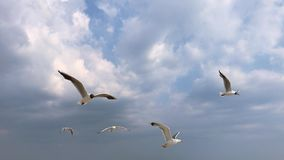 White sea gulls fly in the sky with clouds. View of the bottom, Ukraine stock footage